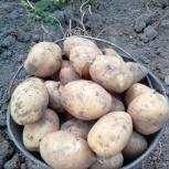 Молодой отборный домашний картофель, Новосибирск