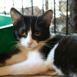 Черно-белая кошка малышка ищет семью, Новосибирск