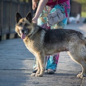 Собака овчарка даром, Новосибирск