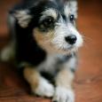 Бесплатно отдам в хорошие и добрые руки щеночка, Новосибирск