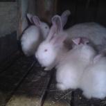 продам чистопородных кроликов, Новосибирск