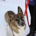 Рона – изумительная девочка-щенок! 5 мес., Новосибирск