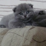 Плюшки вислоушки котята, Новосибирск