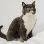 Умница и красавица кошка Кэти в самые надежные руки!, Новосибирск