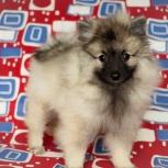 Собака Кеесхонд, похожая на енота, Новосибирск