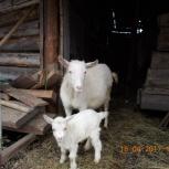 коза с козлёнком, Новосибирск