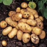 Продам деревенский картофель, Новосибирск