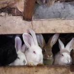 Продам кроликов, Новосибирск