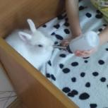 Кролик Декоративный (белый), Новосибирск