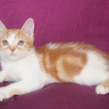 Яркий котенок страйтик 3 месяца, Новосибирск