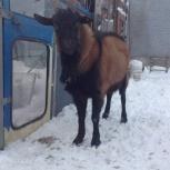 Продам чешского козла или обменяю., Новосибирск