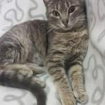 Серебристая кошка Дашутка 9 месяцев, Новосибирск