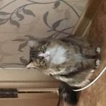 Продам котят Сибирской породы, Новосибирск