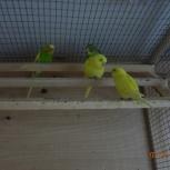 Продам молодых попугайчиков домашнего разведения, Новосибирск