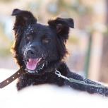 Лохматый красавец (собака) Валик–для тех, кто хочет друга!, Новосибирск
