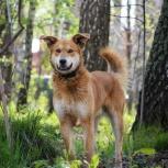Огненно-рыжий пес красавчик Орфей ищет дом, Новосибирск