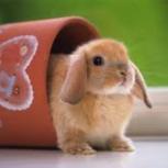 Возьму в хорошие руки кролика декоративного, Новосибирск