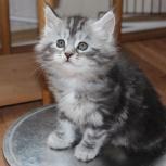 Продам британочку чудо-кошечку за символическую плату, Новосибирск