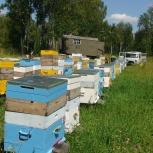 Продам пчел в Искитимском районе, Новосибирск