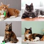 Крупные, крепкие, высокопородные котят Курильского бобтейла, Новосибирск