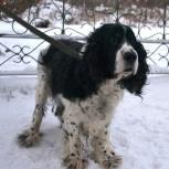 Взрослый пес-спаниэль в добрые руки, Новосибирск