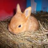 Кролик новозеландская красная, Новосибирск