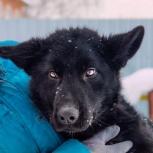 Трехлапый щенок (фенотип немецкая овчарка) черного окраса ищет дом, Новосибирск