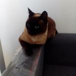 Найден сиамский кот, домашний, Новосибирск