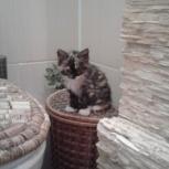 Котенок, чистокровный курбобик, Новосибирск
