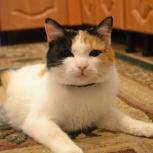 Великолепная кошка Мила ищет семью., Новосибирск
