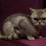Отдам шотландскую кошку, Новосибирск