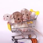 Декоративные крысята, Новосибирск
