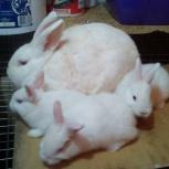 Кролики калифорнийские, новозеландские белые., Новосибирск