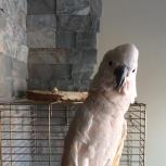 Продам попугая Какаду, Новосибирск