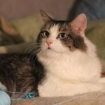 Котик луи. Миниатюрный, волшебно-голубоглазый, нежный, как котенок, Новосибирск