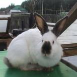Продам кролика калифорнийской породы, Новосибирск