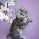 Котята из питомника, Новосибирск