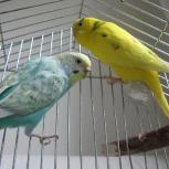 Пара волнистых попугаев с клеткой (только вместе), Новосибирск