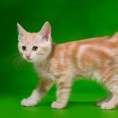 Породистые котята курильского бобтейла, Новосибирск