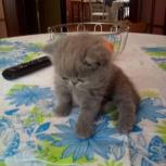 Продается экзотический котенок, Новосибирск