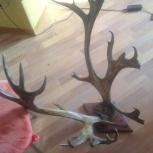 Продам рога оленя, Новосибирск
