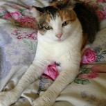 Ищет любящий дом красавица - трехцветка кошка Ася, Новосибирск