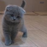 Шотландские вислоухие котята, Новосибирск