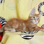 Котик мейн-кун из питомника огненный хвост, Новосибирск
