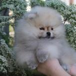 Обаятельный малыш шпица щенок, Новосибирск