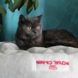 Предлагаю кошечку Талиса, Новосибирск