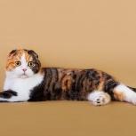 Котята от шотландской вислоухой, Новосибирск