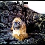 щенок грифона, Новосибирск
