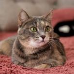 Люси – потрясающе красивая кошка с поистине собачьей верностью, Новосибирск