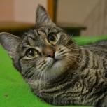 Настоящая красотка-кошка в полосатой шубке ждет хозяина!, Новосибирск